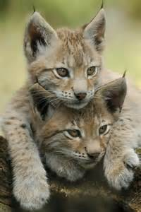 lynx cats lynx kittens animals birds insects