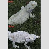 Leucistic Bearded Dragon | 400 x 600 jpeg 67kB