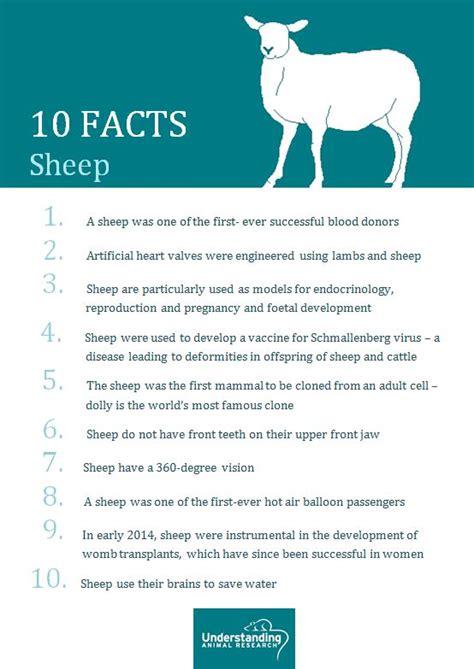 sheep understanding animal research understanding