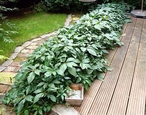Wilder Wein Sorten : parthenocissus quinquefolia ~ A.2002-acura-tl-radio.info Haus und Dekorationen