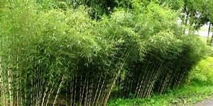 Haie Haute Et Rapide : bambou vente en ligne de bambous bambou pas cher leaderplant ~ Dode.kayakingforconservation.com Idées de Décoration