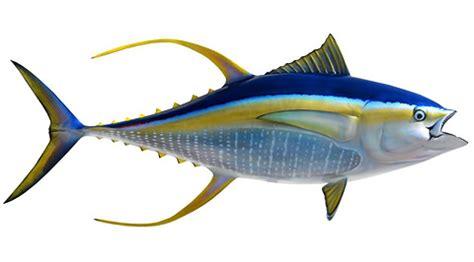 yellowfin tuna bigwater adventures