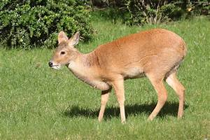 Chinese Water Deer (Hydropotes inermis) male | ZooChat