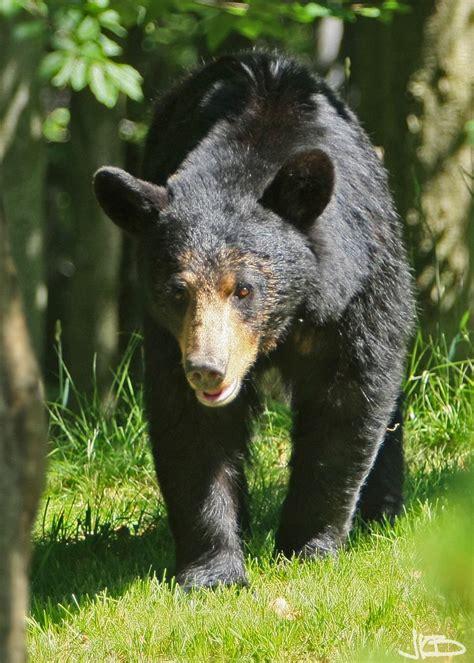 black bears wv black bears jim blackwood photographer