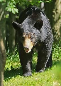 2012 Black Bears - WV Black Bears - Jim Blackwood Photographer  Black