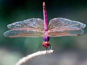 Dragonfly and Damselfly Facts, Meaning, and Habitat | How ...