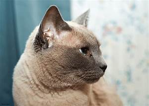 Types of Siamese Cat Archives - Siamese Cat Spot