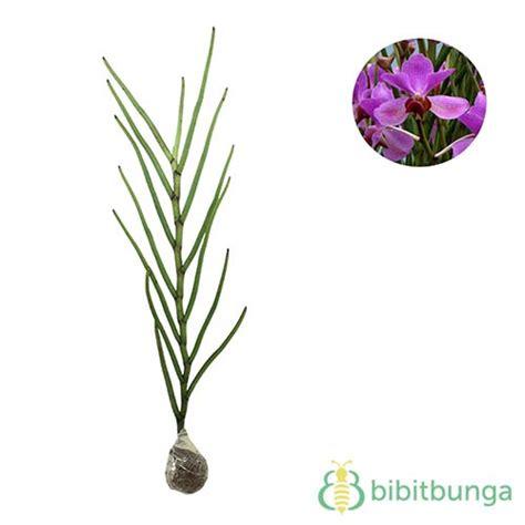 tanaman anggrek tanah vanda douglas bibitbunga