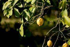 Zitronenbaum Gelbe Blätter : zitronenbaum ziehen hinweise zum pflanzen zur pflege ~ Lizthompson.info Haus und Dekorationen