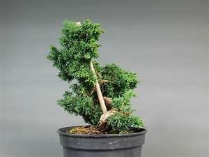 Chinesischer Wacholder Bonsai : bonsai rohlinge versandhandel shop ~ Sanjose-hotels-ca.com Haus und Dekorationen