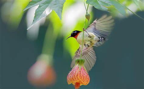悬铃花与鸟儿图片大全