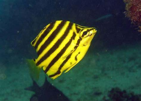 stripey microcanthus strigatus