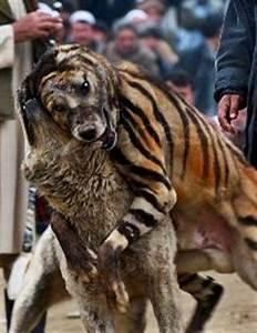 Cryptomundo » Tiger-Striped Dogs?