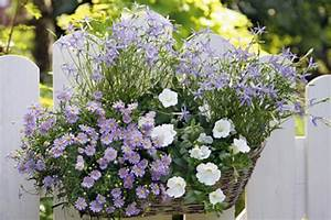 Blumenkästen Bepflanzen Sonnig : balkonkasten mit blauen g nsebl mchen petunien und sternblumen bild 17 living at home ~ Frokenaadalensverden.com Haus und Dekorationen