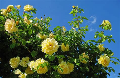 desktop wallpapers roses yellow flowers branches closeup
