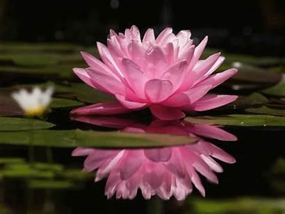 Lotus Flor Flower Mobile Seeds Flores Bunga