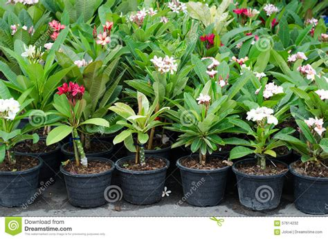 frangipani care in pots frangipani trees in pot stock photo image of cultivated 57614232