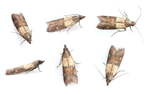 Indian Pantry Moth How To Get Rid Of Pantry Moths