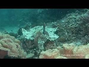 wobbegong sharks - YouTube