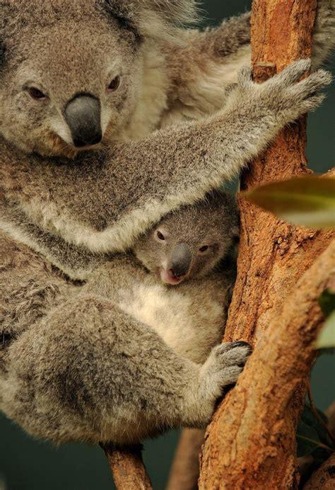 Onceextinct Horse Species Welcomes New Foal  Mothers, New Babies And Koalas
