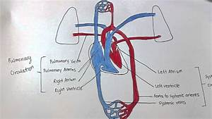 Pulmonary  U0026 Systemic Circulation