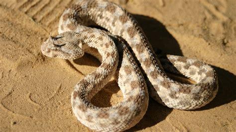 La peligrosa serpiente del Sáhara