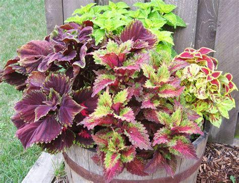 different varieties of coleus various types of coleus decorative landscapes ideas pinterest