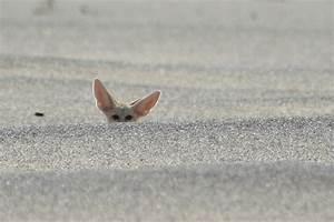 Pics For > Fennec Fox Hunting