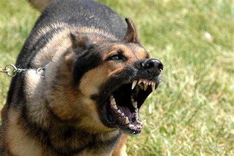 Filemilitary Dog Barking Jpg