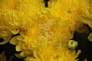 Yellow Chrysanthemum 2 by jenli88 on DeviantArt