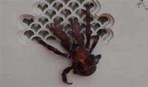 WATCH: The monster coconut crab with a pinch MORE powerful ...