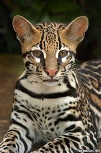 ocelot cat i big cats gorgeous ocelot wonders