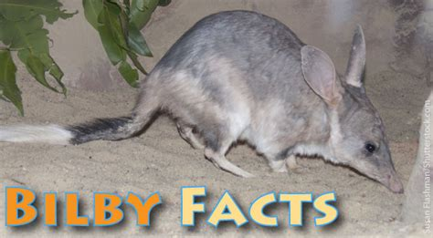bilby facts  kids information pictures video