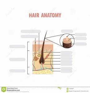 Hair Anatomy Blank Illustration Vector On White Background