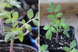 Pflanzen Die Nicht Viel Licht Brauchen : wie viel licht und sonne sonnenstunden brauchen tomaten ~ Markanthonyermac.com Haus und Dekorationen