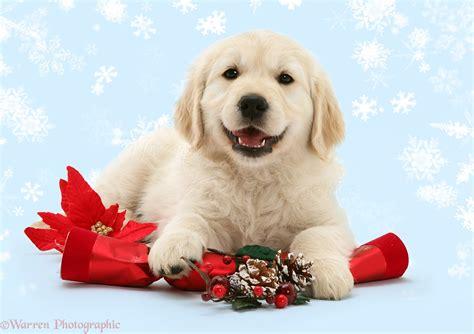 dog smiley golden retriever pup  christmas cracker