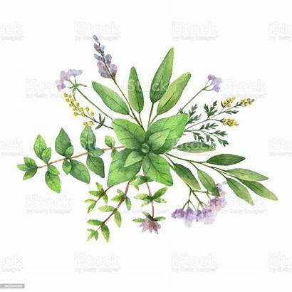 Herbs Watercolor Bouquet Spices Wild Illustration Painted
