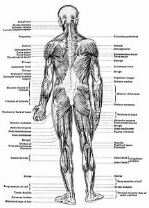 Body Parts Diagram Muscles Of The Back