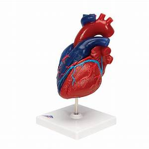 Life-size Human Heart Model  5 Parts