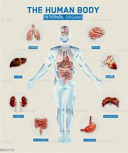 Human Body And Organs Systems Infographic Anatomy System