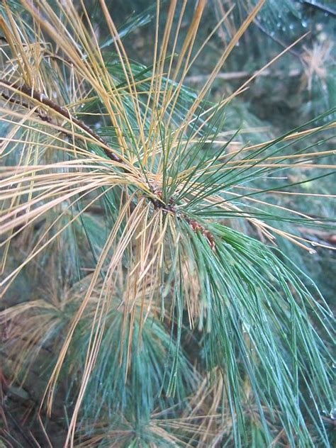 harvest moon  hand white pine tree outdoor nature hour challenge