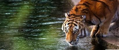 1440 3440 Ultra Wide Ultrawide Desktop Tiger