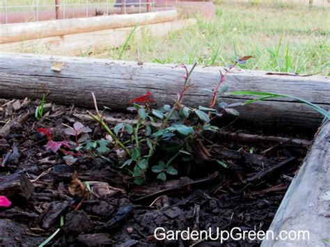 Hormon Root Up By Aprilia Garden expanding a bush from cuttings garden up green