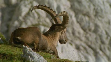 ibice alpes julianos europa hd stock video