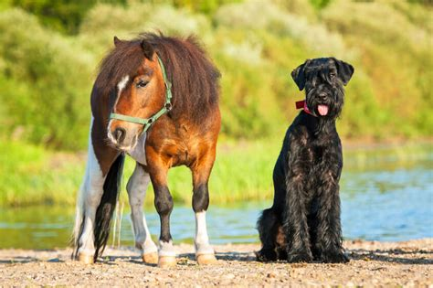 animals dog service giant horse guard pony schnauzer ada dogs emotional support minature guide breeds animal miniature horses breed propertyware
