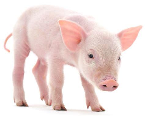 adopt  pig  world animal foundation