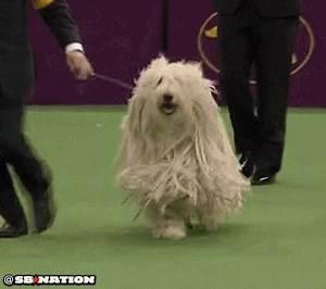 Westminster Dog Show 2013: Komondor will mop your floors ...
