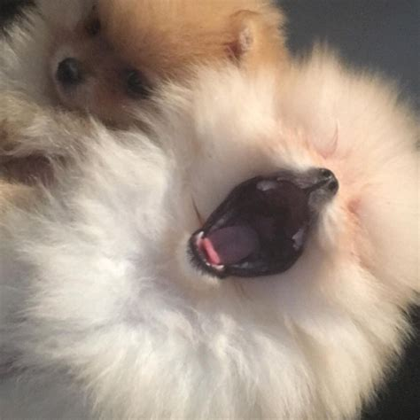 north west  penelope disicks  pomeranian puppies