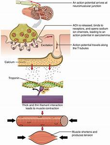 Muscle Fiber Contraction And Relaxation