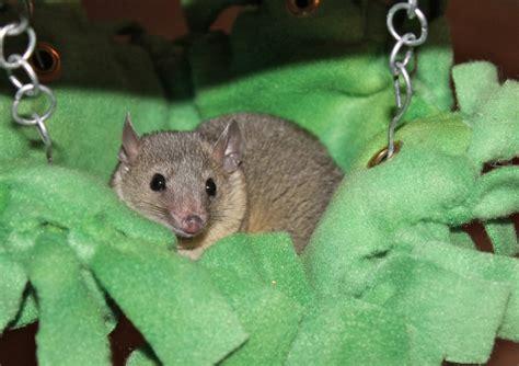 tailed opossum opossum hammocks and shorts on pinterest